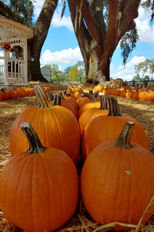 Download pumpkin patch festival south florida free online