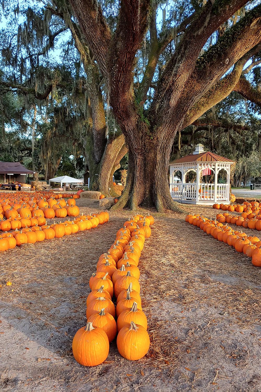pumpkin-patch-festival-orlando-fl-3